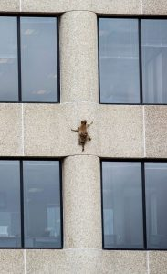 Photo of MPRRaccoon climbing the side of the UBS Plaza building